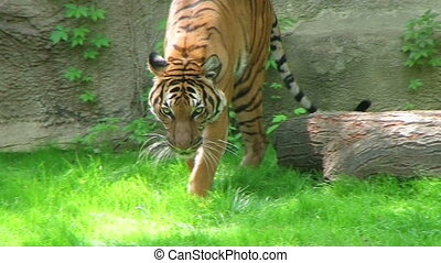 Tiger Walking In Grass - Siberian tiger walking in grass