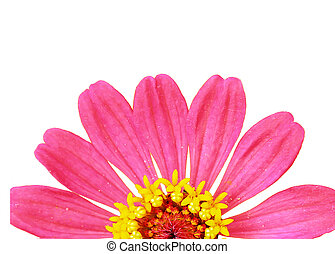 Zinnia flower, or Zinnia violacea Cav - Close up Zinnia...