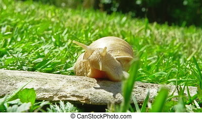 European pulmonate land snail Helix aspersa moving on piece...