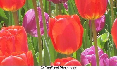 Tulip Garden - Slow zoom out of tulip garden