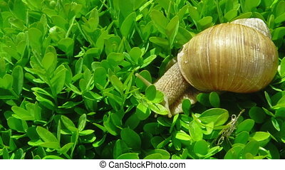 European pulmonate land snail Helix aspersa moving on the...