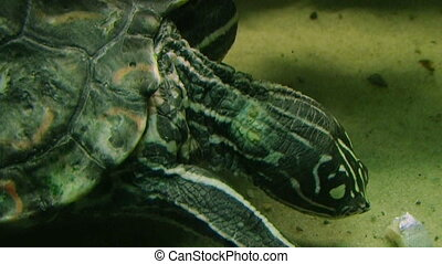Turtle Eating - Ringed Sawback Map Turtle eating in...