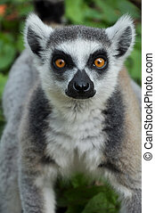 Ring-tailed lemur is instantly recognisable due to its long,...