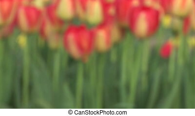 Tulips Coming into Focus - Tulip field in the Willamette...