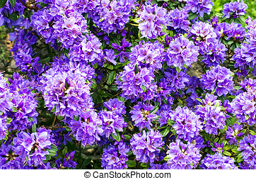 Backround of purple rhododendron in the garden
