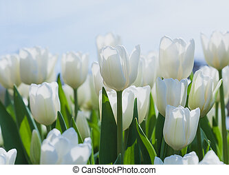 white blooming tulips in the spring garden - vibrant...