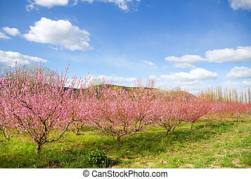 blossoming spring trees