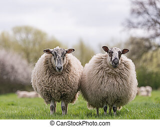 sheep standing in meadow - Two woolly sheep standing...