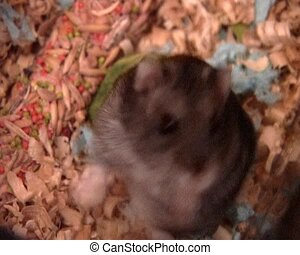 little hamster - small domestic grey hamster at the wooden...