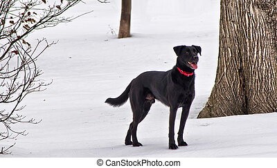 A Black Labrador Retriever in the snow. Photo taken Jan....