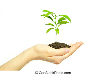 plant in hand - Hands holding sapling in soil on white...