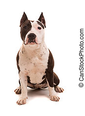 American Staffordshire Terrier - A baby American...