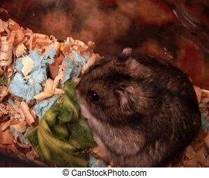 little hamster - small domestic grey hamster eat the cabbage...