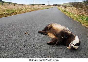 Road kill badger - Badger lies on the side of the road after...