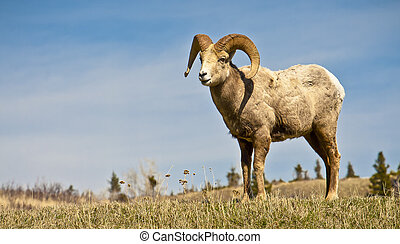 Male Big Horned Sheep