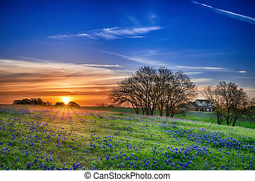 Texas bluebonnet field at sunrise - Texas bluebonnet spring...