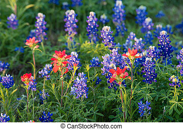 Texas Bluebonnet and Indian Paintbrush wildflowers - Indian...
