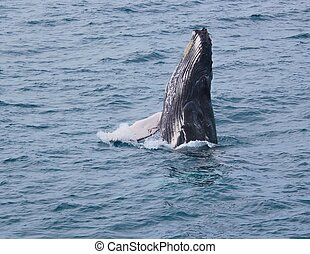 Calf spyhopping - This baby humpback holds itself above the...