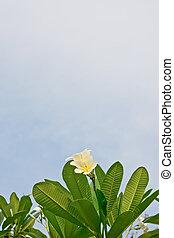 white and yellow plumeria flowers