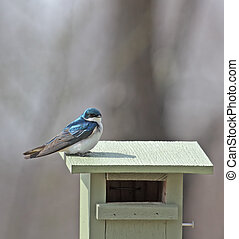 Tree Swallow - Tree swallow perched on top a birdhouse