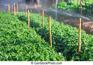 Organic plat being watered in a green house