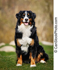 Bernese mountain dog - Purebred berner sennenhund, taken...