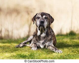 Italian mastiff - Mixed-bred dog, a mix of Cane Corso and...