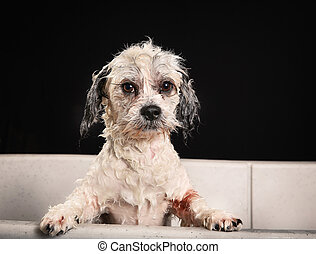 Purebred Havanese dog - Studio shot of purebred Bichon...