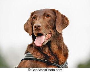Brown labrador retriever - Close-up of purebred brown...
