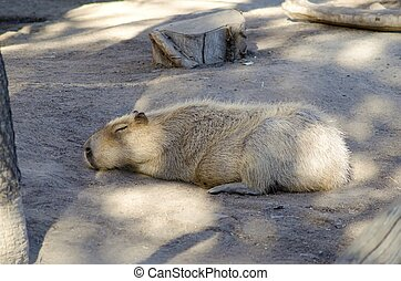 Capybara - A cute adorable capybara sleeping. The...