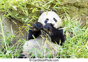 Panda - A cute adorable lazy baby giant Panda bear eating...