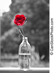 alone rose - still life of red rose in glass