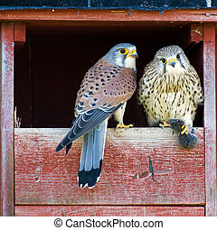Love Gift - The beautiful male Kestrel (Falco tinnunculus)...