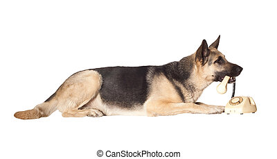 Alsatian dog holding phone handset in his mouth. Isolated...