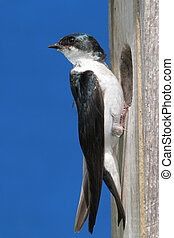 Tree Swallow - Tree Swallow (tachycineta bicolor) carrying...