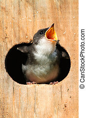 Baby Tree Swallow Begging For Food - Baby Tree Swallow...