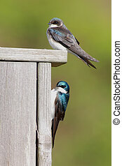 Pair of Tree Swallows on a bird house - Pair of Tree...