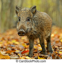 Wild boar in the forest in autumn