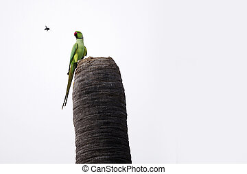 Rose ringed parakeet - Rose-ringed Parakeet on the tree and...