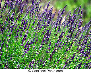 Lavender cultivated field in Provence, France during summer