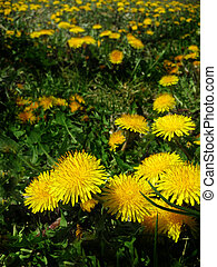 Field of Dandylion Weed Blossoms - Detail closeup of...