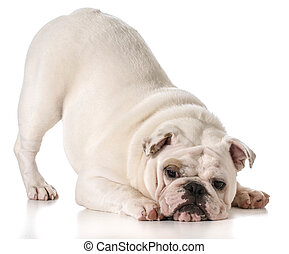 english bulldog with bum up in a play bow isolated on white...