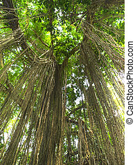 Jungle lianas - Lianas hanging from the tree in tropical...
