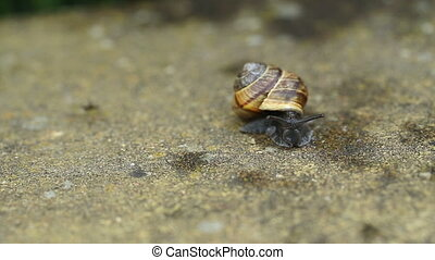 macro of one small garden snail on