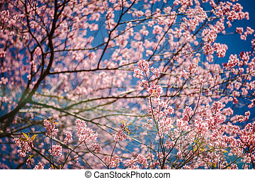 Beautiful cherry blossoms under blue sky