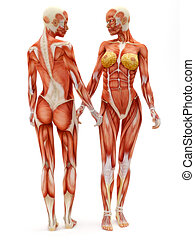 Female musculoskeletal system. - Female musculoskeletal...