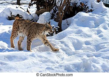 lynx in winter - portrait lynx in the forest in winter