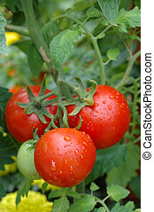 Growing tomatoes - Close up of a bunch of growing tomatoes