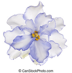 african violet - Studio Shot of Blue Colored African Violet...