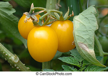 Growing yellow tomatoes